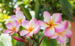 Γλυκιά ρόδινη δέσμη plumeria λουλουδιών και φυσικό υπόβαθρο Στοκ εικόνες με δικαίωμα ελεύθερης χρήσης