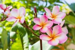 Γλυκιά ρόδινη δέσμη plumeria λουλουδιών και φυσικό υπόβαθρο Στοκ φωτογραφία με δικαίωμα ελεύθερης χρήσης