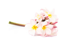 Γλυκιά ρόδινη επάνθιση plumeria στο άσπρο υπόβαθρο Στοκ φωτογραφία με δικαίωμα ελεύθερης χρήσης