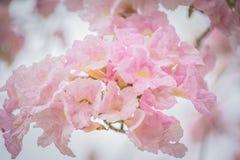Γλυκιά ρόδινη εποχή ανθών λουλουδιών την άνοιξη Στοκ Φωτογραφία