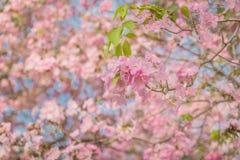 Γλυκιά ρόδινη εποχή ανθών λουλουδιών την άνοιξη Στοκ φωτογραφίες με δικαίωμα ελεύθερης χρήσης