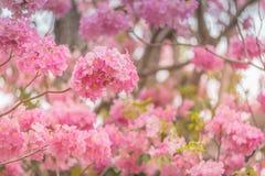 Γλυκιά ρόδινη εποχή ανθών λουλουδιών την άνοιξη Στοκ Εικόνα