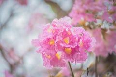 Γλυκιά ρόδινη εποχή ανθών λουλουδιών την άνοιξη Στοκ Εικόνες