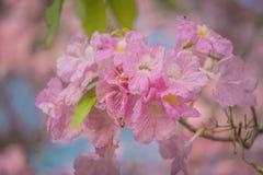 Γλυκιά ρόδινη εποχή ανθών λουλουδιών την άνοιξη Στοκ φωτογραφία με δικαίωμα ελεύθερης χρήσης