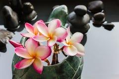 Γλυκιά ρόδινη plumeria λουλουδιών ή δέσμη frangipani στη μορφή β χελωνών Στοκ Φωτογραφία