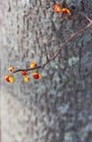 Γλυκόπικρος Στοκ εικόνες με δικαίωμα ελεύθερης χρήσης