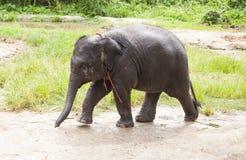 Γλυκός ασιατικός ελέφαντας μωρών Στοκ Εικόνα