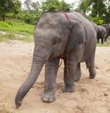Γλυκός ασιατικός ελέφαντας μωρών Στοκ Φωτογραφίες