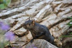 Γλυκός σκίουρος Στοκ Φωτογραφίες