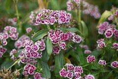 Γλυκός William, barbatus Dianthus, Bartnelke - εικόνα αποθεμάτων Στοκ Εικόνες