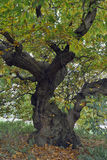 Γλυκό δέντρο κάστανων Στοκ εικόνα με δικαίωμα ελεύθερης χρήσης