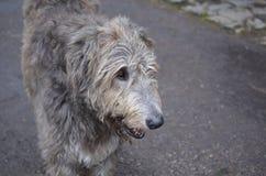 Γλυκό αντιμέτωπο ιρλανδικό σκυλί Wolfhound με την γκρίζα γούνα Στοκ εικόνες με δικαίωμα ελεύθερης χρήσης