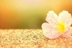 Γλυκό μαλακό ρόδινο λουλούδι εστίασης με την επίδραση φωτός του ήλιου στοκ φωτογραφίες