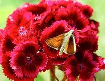 Γλυκό λουλούδι William στοκ εικόνες με δικαίωμα ελεύθερης χρήσης