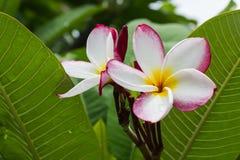 γλυκό ρόδινο άσπρο plumeria λουλουδιών ή δέντρο frangipani Στοκ Εικόνα