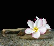 Γλυκό ρόδινο κίτρινο plumeria ή frangipani λουλουδιών στο νερό και peb Στοκ Εικόνα