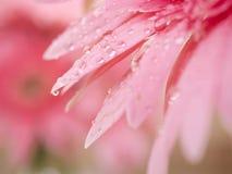 Γλυκό ρόδινο λουλούδι 1 μαργαριτών Gerbera κινηματογραφήσεων σε πρώτο πλάνο Στοκ Φωτογραφίες
