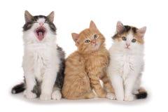 Γλυκό τρία λίγο γατάκι Στοκ Φωτογραφίες