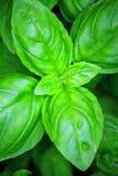 γλυκό φυτών βασιλικού Στοκ εικόνα με δικαίωμα ελεύθερης χρήσης