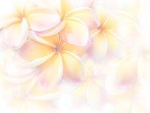 Γλυκό χρώμα ρόδινα λουλούδια Plumeria ή Frangipani Στοκ Φωτογραφία