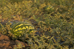 Γλυκό ώριμο καρπούζι στον τομέα Στοκ Εικόνα