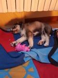 Γλυκό cucciolo παπαρουνών σκυλιών Στοκ εικόνα με δικαίωμα ελεύθερης χρήσης