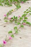 Γλυκό pes-caprae Ipomoea στοκ εικόνες