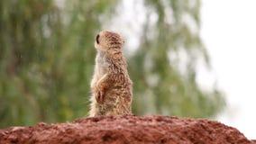 Γλυκό suricate που στέκεται στην προσοχή βροχής έξω από έναν βράχο που παρατηρεί το περιβάλλον φιλμ μικρού μήκους