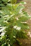 Γλυκό wormwood, η γλυκιά Annie, γλυκό sagewort ή ετήσιο wormwood, δέντρο Στοκ Εικόνα