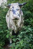 Γλυπτά αγελάδων στο πράσινο πάρκο Στοκ Φωτογραφία