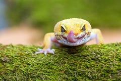 Γλώσσα σπρωξιμάτων gecko λεοπαρδάλεων Στοκ Εικόνες