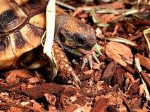 Γλώσσα Hermann ` s Tortoise Στοκ φωτογραφία με δικαίωμα ελεύθερης χρήσης