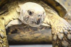 Δάκρυα του Tortoise Στοκ φωτογραφία με δικαίωμα ελεύθερης χρήσης