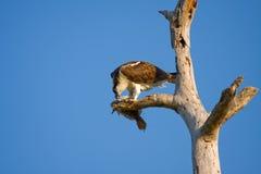 δάκρυα osprey σάρκας ψαριών στοκ εικόνες