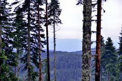 Δάση δέντρων πεύκων μετά από τη βροχή Στοκ φωτογραφία με δικαίωμα ελεύθερης χρήσης