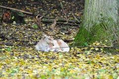 δάση ελαφιών Στοκ Εικόνες