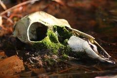δάση κρανίων Στοκ φωτογραφία με δικαίωμα ελεύθερης χρήσης