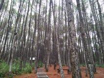 Δάση πεύκων που έχουν πολλές ποικιλίες στοκ εικόνες