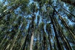Δάση πεύκων στοκ φωτογραφίες με δικαίωμα ελεύθερης χρήσης