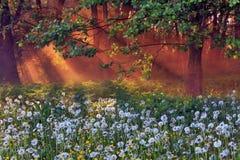 δάση πικραλίδων Στοκ Φωτογραφία
