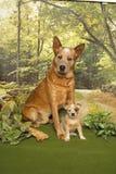 δάση σκυλιών βοοειδών Στοκ Φωτογραφίες