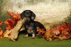 δάση φθινοπώρου dachshund Στοκ Εικόνες