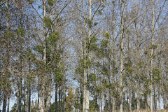 δάση viscum γκι λευκωμάτων στοκ φωτογραφίες