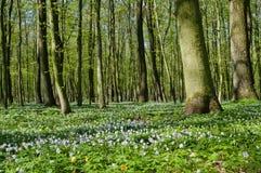 Δάσος άνθισης nemorosa Anemone την άνοιξη Στοκ Φωτογραφίες