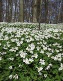 Δάσος άνοιξης με τα λουλούδια αέρα Στοκ φωτογραφία με δικαίωμα ελεύθερης χρήσης