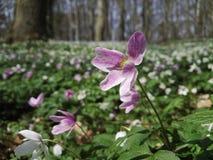Δάσος άνοιξης με τα λουλούδια αέρα Στοκ εικόνες με δικαίωμα ελεύθερης χρήσης