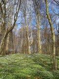 Δάσος άνοιξης με τα λουλούδια αέρα Στοκ Φωτογραφία