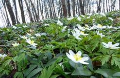 Δάσος άνοιξη με τα anemones Στοκ Φωτογραφίες