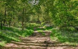 δάσος άνοιξη οξιών bluebells αγγλ&io Στοκ Εικόνες