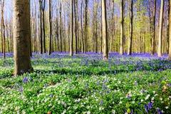Δάσος άνοιξη που καλύπτεται με τα bluebells και anemones τα λουλούδια Στοκ Εικόνες